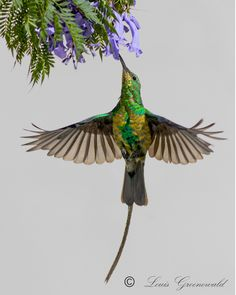 Malachite Sunbird (Nectarinia famosa) Male malachite sunbird losing his breeding plumage Locality Worcester, Western Cape Province, South . Deep Gnome, South African Birds, Different Birds, Cool Art Drawings, All Gods Creatures, African Animals, Bird Watching, Malachite, Bird Feathers