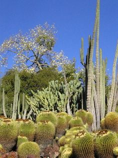 The Huntington Desert Garden is one of the largest and oldest assembles of cacti and other succulents in the world.