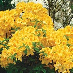 Golden Lights Hardy Azalea:  We planted one by our front entrance last year and it smells HEAVENLY!!  I want more!