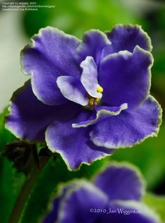 African Violet 'Caribbean Blue' (Saintpaulia)