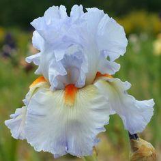 ~Tall Bearded Iris 'Grecian Skies'