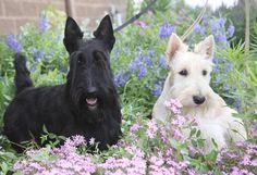 Scotties in flowers