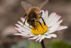 Honeybees Stick Out Their Tongues For Science - Being bribed by sugar water to stick out their tongues Pavlov style: Science News - redOrbit