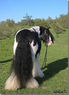 Gypsy Vanner - love them, but I also wonder just how much time is spent brushing out the tails and feathers!