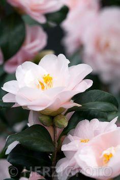 """Camellia japonica """"Fleur de Pecher"""" - Kamelie"""