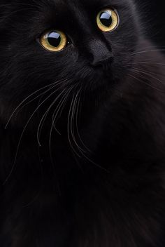 You know how they say that black cats are bad luck? Anyone who owns a black cat knows this. Cute Kittens, Cats And Kittens, Crazy Cat Lady, Crazy Cats, Beautiful Cats, Animals Beautiful, Beautiful Things, Beautiful Life, Cool Cats