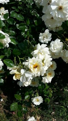 White roses with a bee