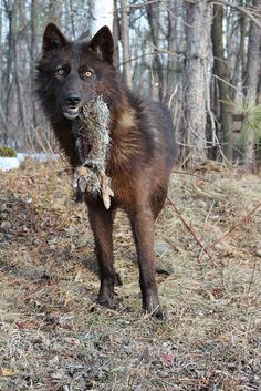 Black Wolf w/ scavenged rabbit (by MLGreenly) Wolf Photos, Wolf Pictures, Coyotes, Beautiful Creatures, Animals Beautiful, Wolf Hybrid, Canis Lupus, Wolf World, Husky