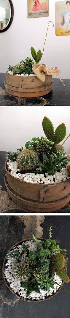 Composición con cactus dentro de un cedazo antiguo