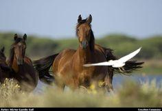 Retuertas horse. Caballos de las Retuertas mirando a la cámara con una Garcilla Bueyera volando
