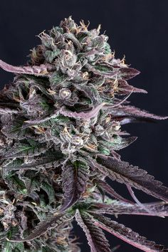 How to grow marijuana and weed to produce quality buds. We show you how to be successful when you are planting pot!  #weed #cannabis #stoned #high #blunted #ganja #indica #sativa https://plantingpot.com/