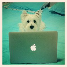 Just me working on my pinterest board - Thank you everyone for following Sophia's Board - The Board of a Westie's Life!