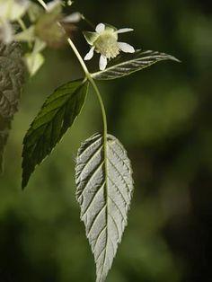Vadelma, Rubus idaeus - Puut ja pensaat - LuontoPortti