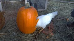 Chickens love pumpkins: the seeds naturally deworm them and lots of other animals