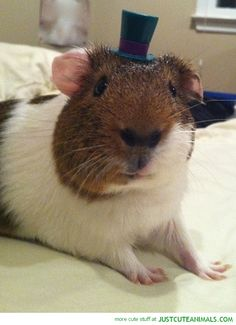 I LOVE GUINEA PIGS I HAVE 5 (I'm Going To Say That On All Guinea Pig Pictures)