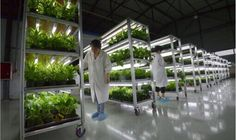 how is salad grown - Google Search