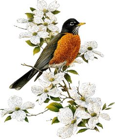 American Robin with Dogwood Roger Tory Peterson was an American naturalist, ornithologist, artist and . Ave Tattoo, Johnny Jump Up, Wildlife Art, Art Design, Counted Cross Stitch Patterns, Bird Prints, Bird Art, Watercolor Illustration, Beautiful Birds