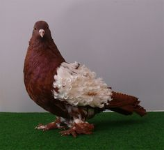 This marvelous creature is a Frillback pigeon.his name is Floreo and he is 2 years old Pretty Birds, Beautiful Birds, Animals Beautiful, Tumbler Pigeons, Pigeon Pictures, Pigeon Breeds, Pigeon Loft, Dove Pigeon, Crazy Bird