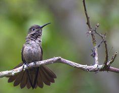 Sombre Hummingbirds  (Aphantochroa cirrochloris) by Dario Sanches.
