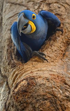 Hyacinth Macaw  ♥ ♥ www.paintingyouwithwords.com
