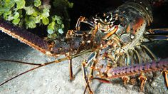 Underwater photo of a lobster in #Roatan #Scuba  #ItsAmazingDownThere