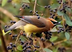 Cedar Waxwing - These come and eat the berries on the American Holly, if the Robins don't beat them to it!  Thanks to Debbie McKenzie photographer and www.allaboutbirds.org/guide.
