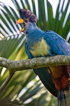 Close-up of a Great Blue turaco (Corythaeola cristata) calling, Kibale National Park, Uganda