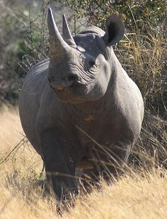 Black Rhino in Moremi Game Reserve, which supports the most diverse habitat and animal populations in Botswana. Resident species also include wild dog, cheetah, leopard, lion, elephant, buffalo, hippo, giraffe, hyena, zebra, kudu, lechwe, sable and roan antelope.