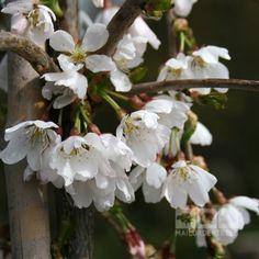 Prunus Snow Showers - Weeping Cherry Tree | Mail Order Trees