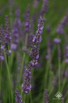 Lavender Phenomenal's tall and long flowers are beautiful! Cut for a fresh summer bouquet or dry them to use in sachets and potpourri.