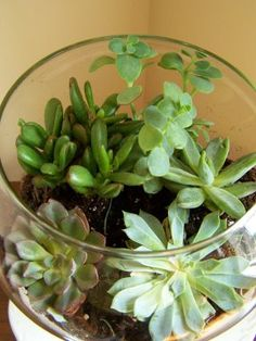 How to grow succulents from cuttings: 1. Cut off a piece of the succulent plant about 2-3 inches long. 2. Let the cutting dry for a few days until a callous forms on the cut end. 3. Plant in loose soil. Roots will grow from the calloused end. A Soft Place to land.