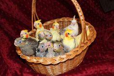 Basket o' Cockatiels! www.coloradocockatiels.com