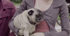 dog puppy pbs poldark pug caroline pugs cute puppy masterpiece horace #humor #hilarious #funny #lol #rofl #lmao #memes #cute