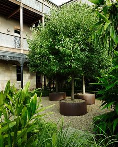 A group Pyrus nivalis (commonly known as Snow Pear) in Corten steel planters, in the courtyard of one of our Balmain projects. Gravel Garden, Garden Planters, Small Gardens, Outdoor Gardens, Snow Pear, Potted Trees, Trees In Pots, Baumgarten, Persian Garden