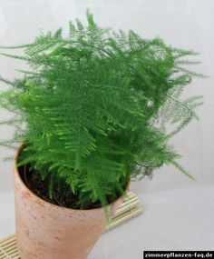 Asparagus Fern vine - Evergreen, for ground. Climbs up eventually or clipped back as a low shrub. You said you liked this at the store. Leafy Plants, Foliage Plants, Green Plants, Indoor Plants, Asparagus Fern, Inside Garden, Inside Plants, Best Plants For Shade, Botanical Interior