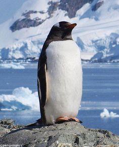 TODAY'S PENGUIN PIC: Almirante Brown #Antarctica