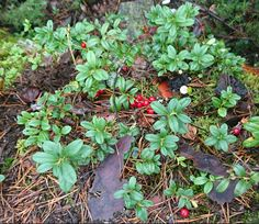 Lingonberries are the best that Finn nature can offer.   (Picture from Laajavuori, Nature trail)