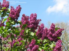 "Syringa ""Congo"" lilac. Fragrant reddish flowers. Heirloom variety from 19th c."