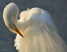 A great egret grooms itself on the edge of a pond in sunny Southwest Florida.