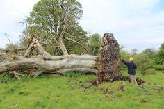 Faia de 200 anos foi derrubada por uma tempestade na Irlanda