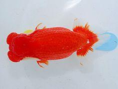 High Quality Ranchu Goldfish. AJRS 2012 Nisai