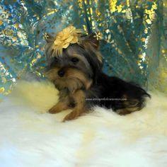 Buy Teacup Yorkie Puppy
