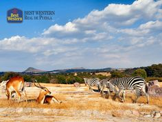 Visitando los alrededores de la ciudad. EL MEJOR HOTEL EN PUEBLA. Cerca de la ciudad existe un lugar lleno de aventura para disfrutar en familia, Africam Safari. En Best Western Real de Puebla, le invitamos a pasar un gran día contemplando la belleza de especies como jirafas, cebras, rinocerontes, venados, leones, elefantes, tigres y más. Incluya este zoológico en su próximo viaje y páselo increíble. #bestwesternenpuebla