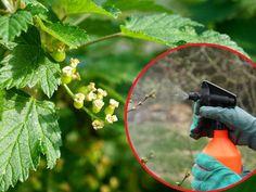 Wiosenne opryski porzeczek Garden, Sad, Vegetables, Garten, Lawn And Garden, Gardens, Vegetable Recipes, Gardening, Outdoor