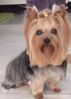 Things we respect about the Sprightly Yorkshire Terrier Dinge, die wir am Sprightly Yorkshire Terrier respektieren Yorky Terrier, Yorshire Terrier, Cute Puppies, Cute Dogs, Yorkie Haircuts, Yorkie Hairstyles, Top Dog Breeds, Yorkie Puppy, Chihuahua