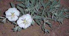 Oenothera californica California Evening primrose, and it smells GOOD