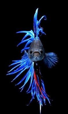 The Siamese fighting fish (Betta splendens)