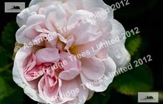 Stanwell Perpetual Shrub Rose Plants for Sale | 1 Year Guarantee