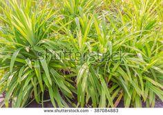 Pandanus palm foliage - stock photo