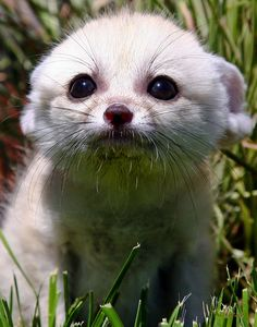 Baby Fennec Fox looking for love by Pam Wood